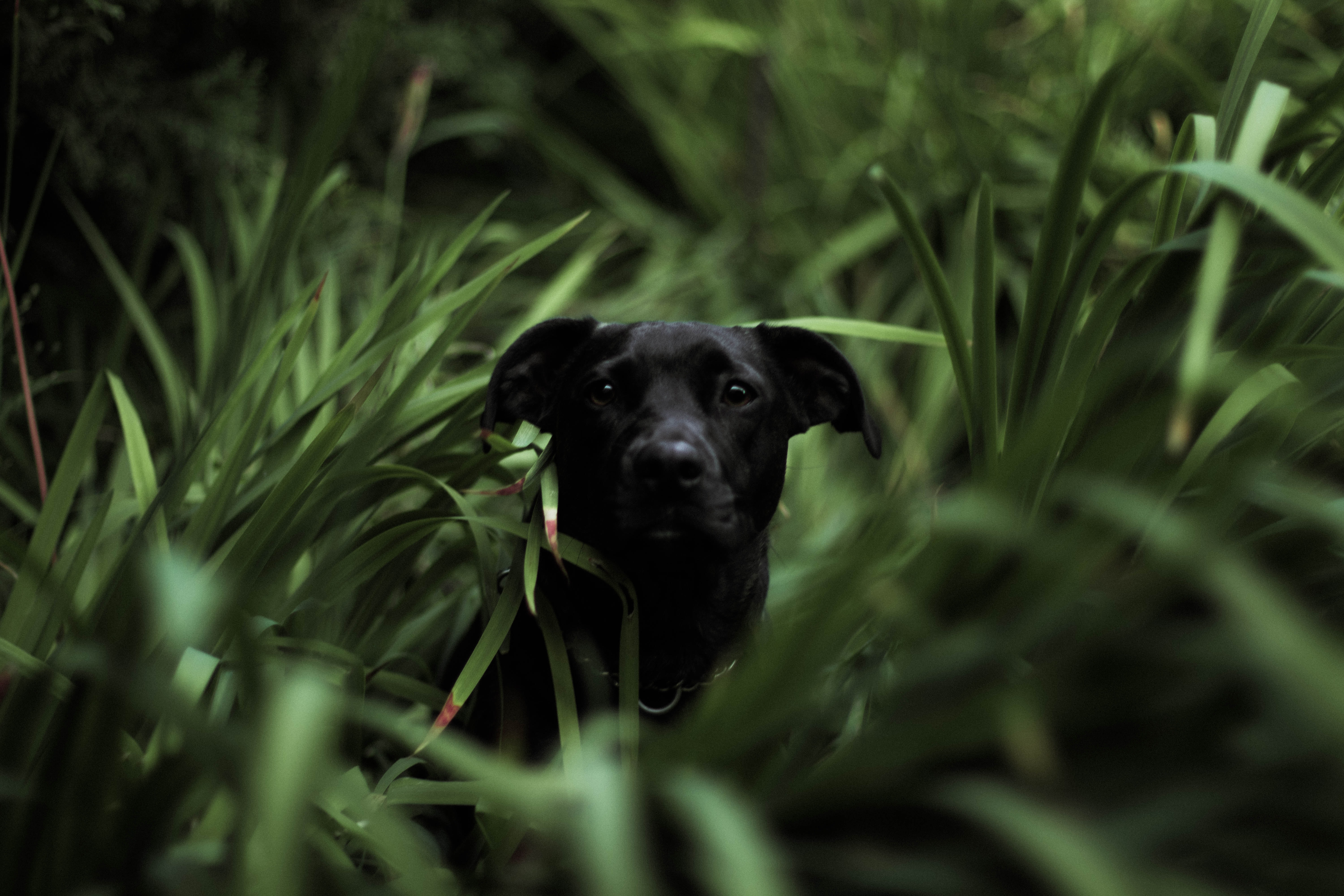short-coated black dog in grass field in tilt shift photography
