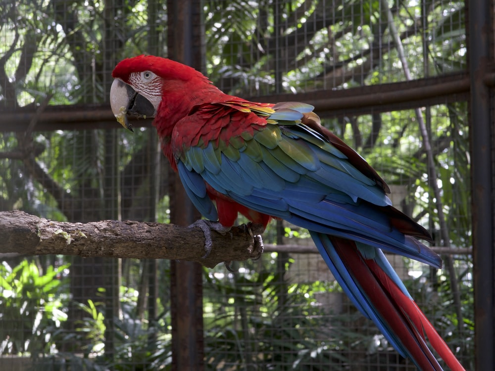 red and blue bird standing on brown wooden stick