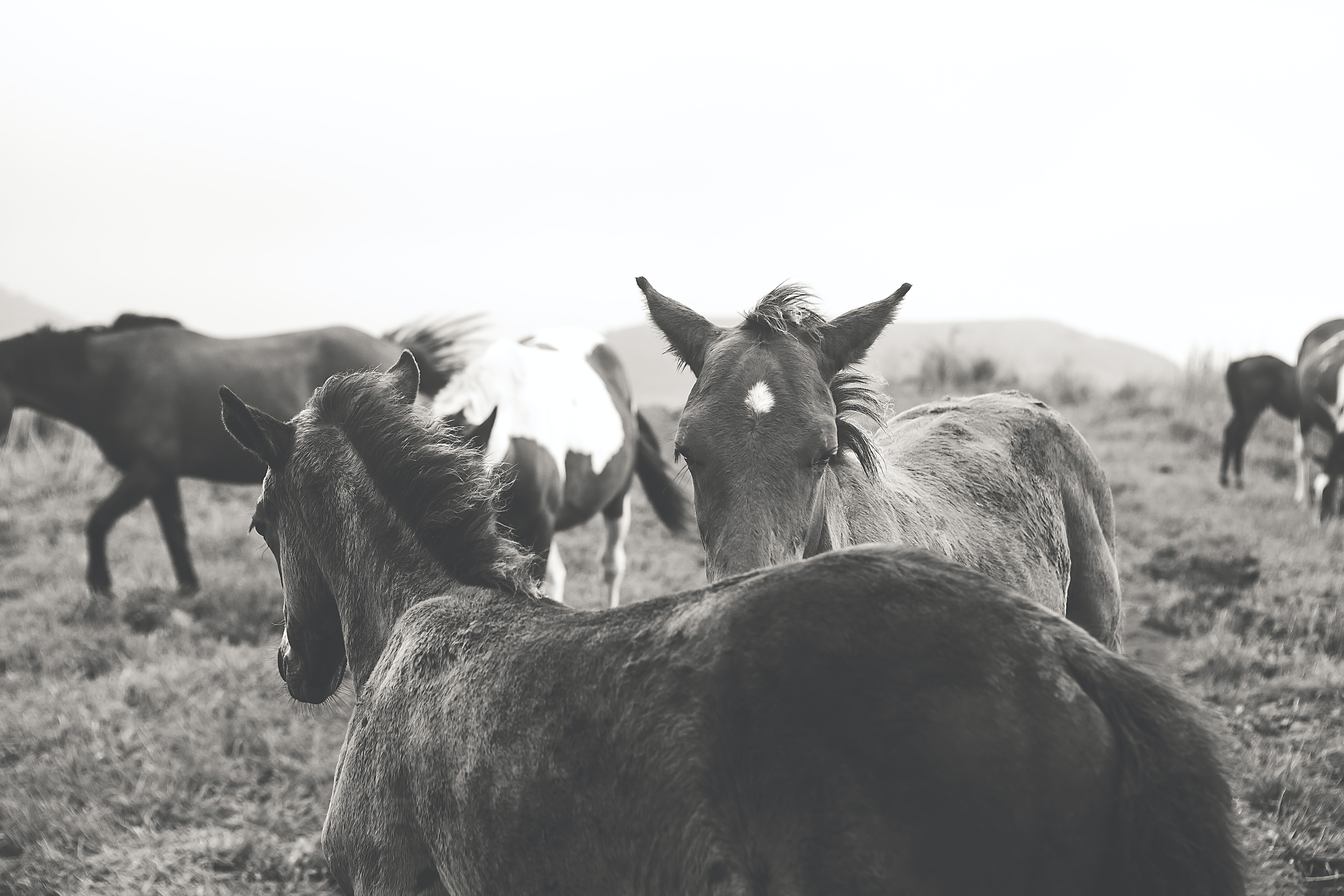 grayscale horse photo