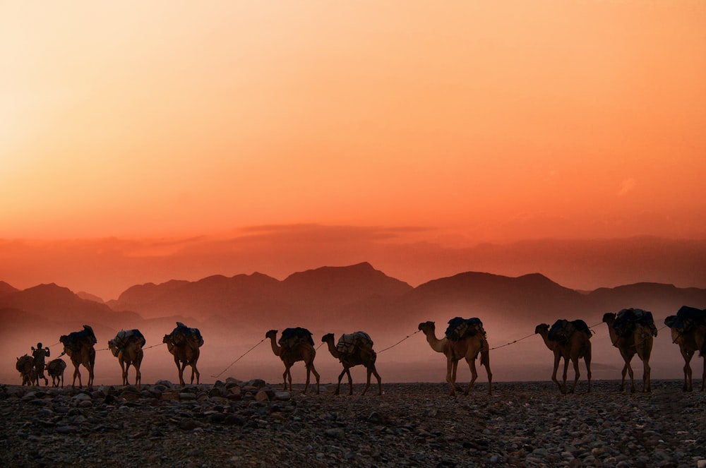 man walking beside parade of camels background of mountain