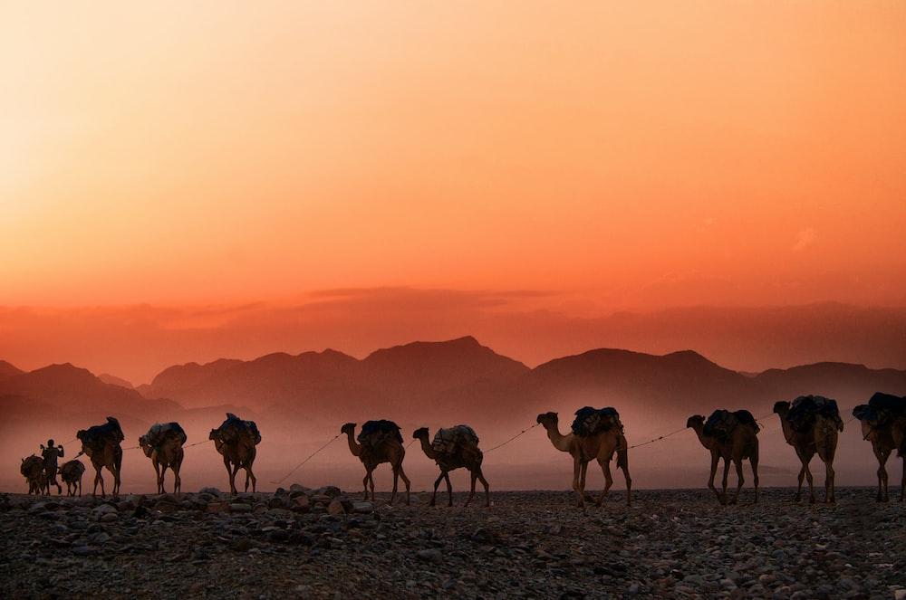 លទ្ធផលរូបភាពសម្រាប់ Camel