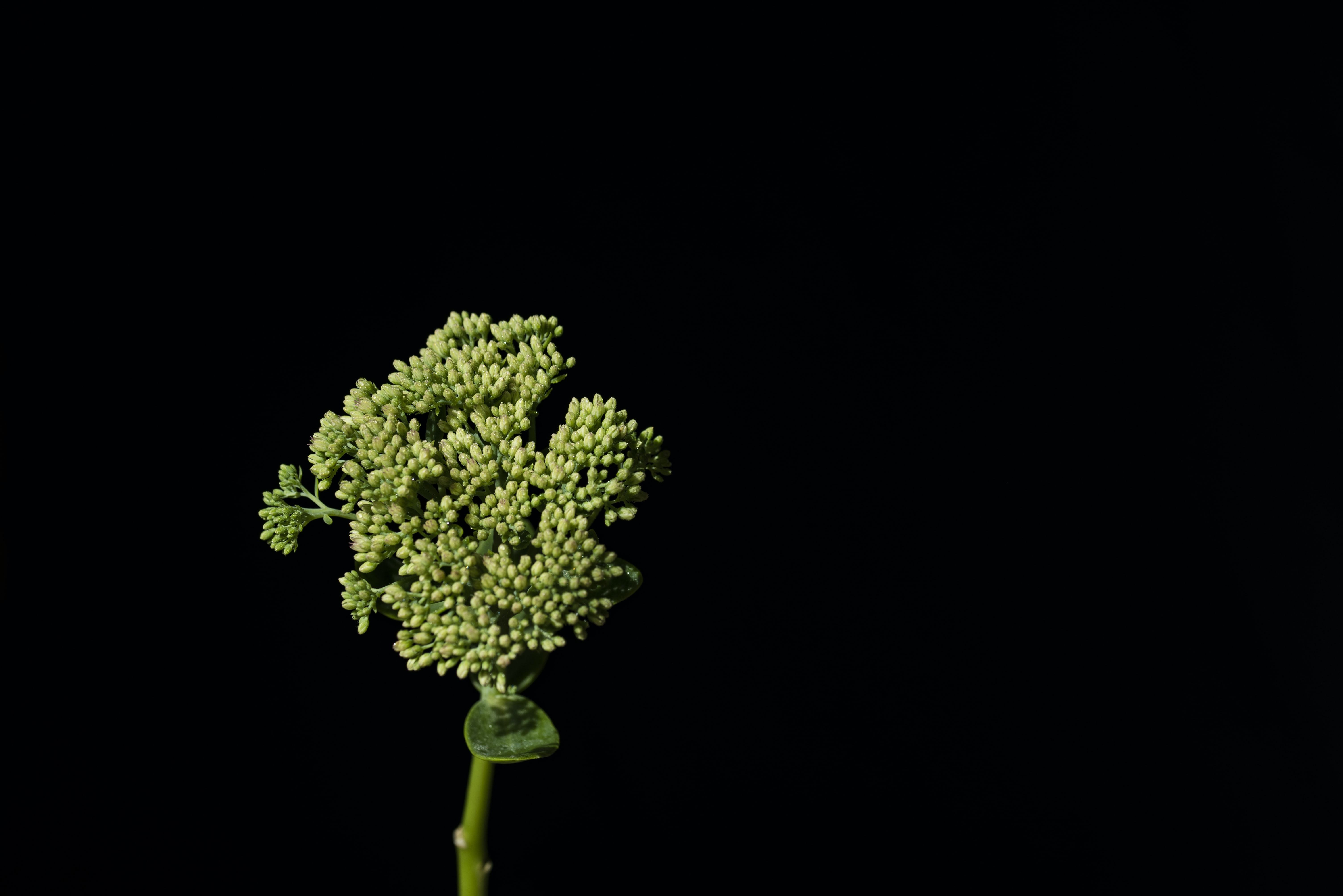 green clustered flower with black background