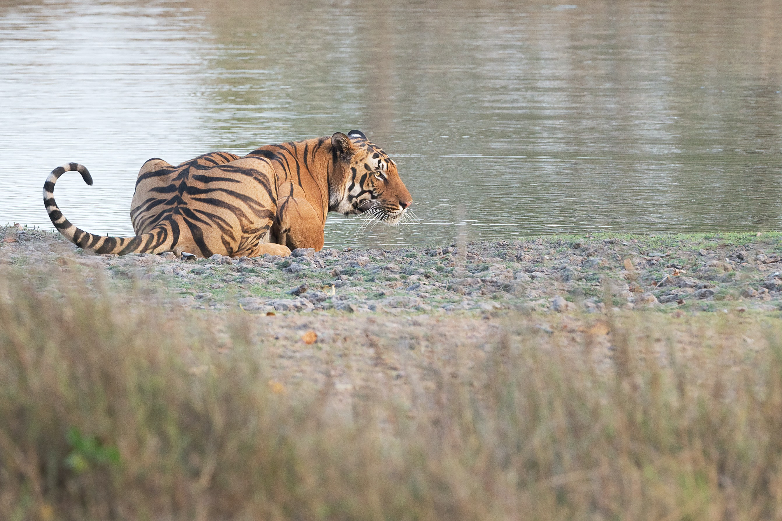 tiger leaning near body of water