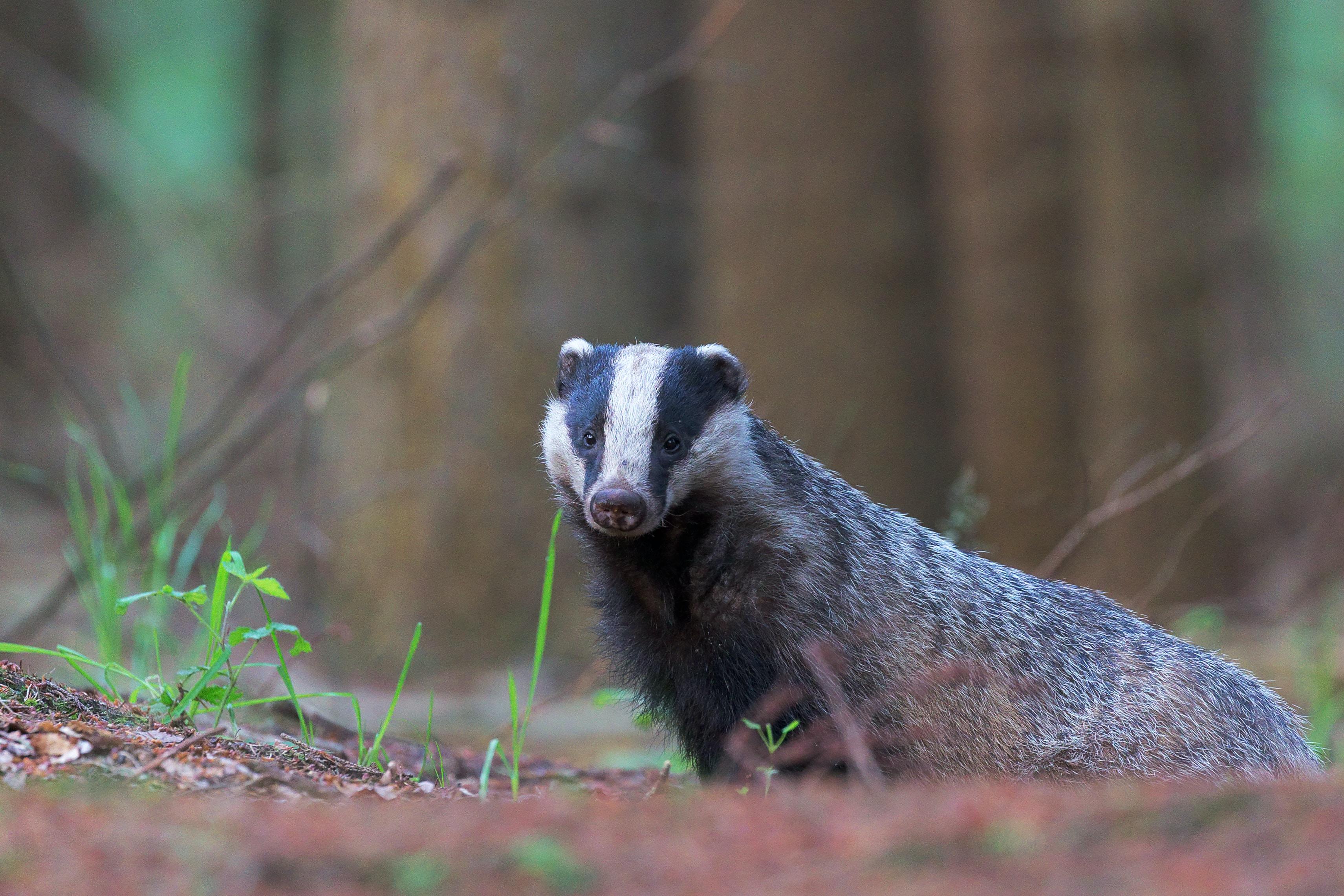 selective focus of skunk near tree