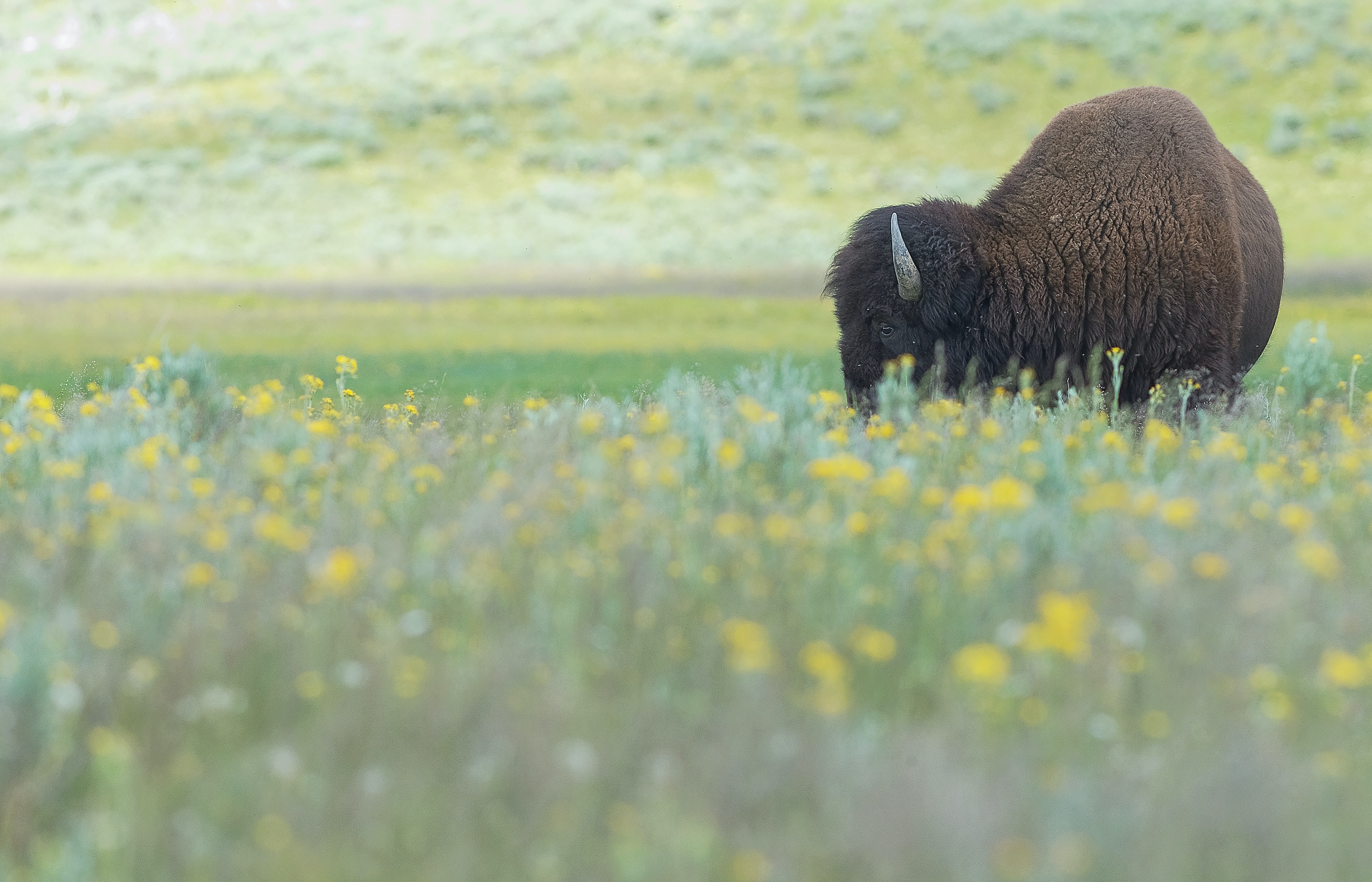 brown bison on yellow petaled flowers field