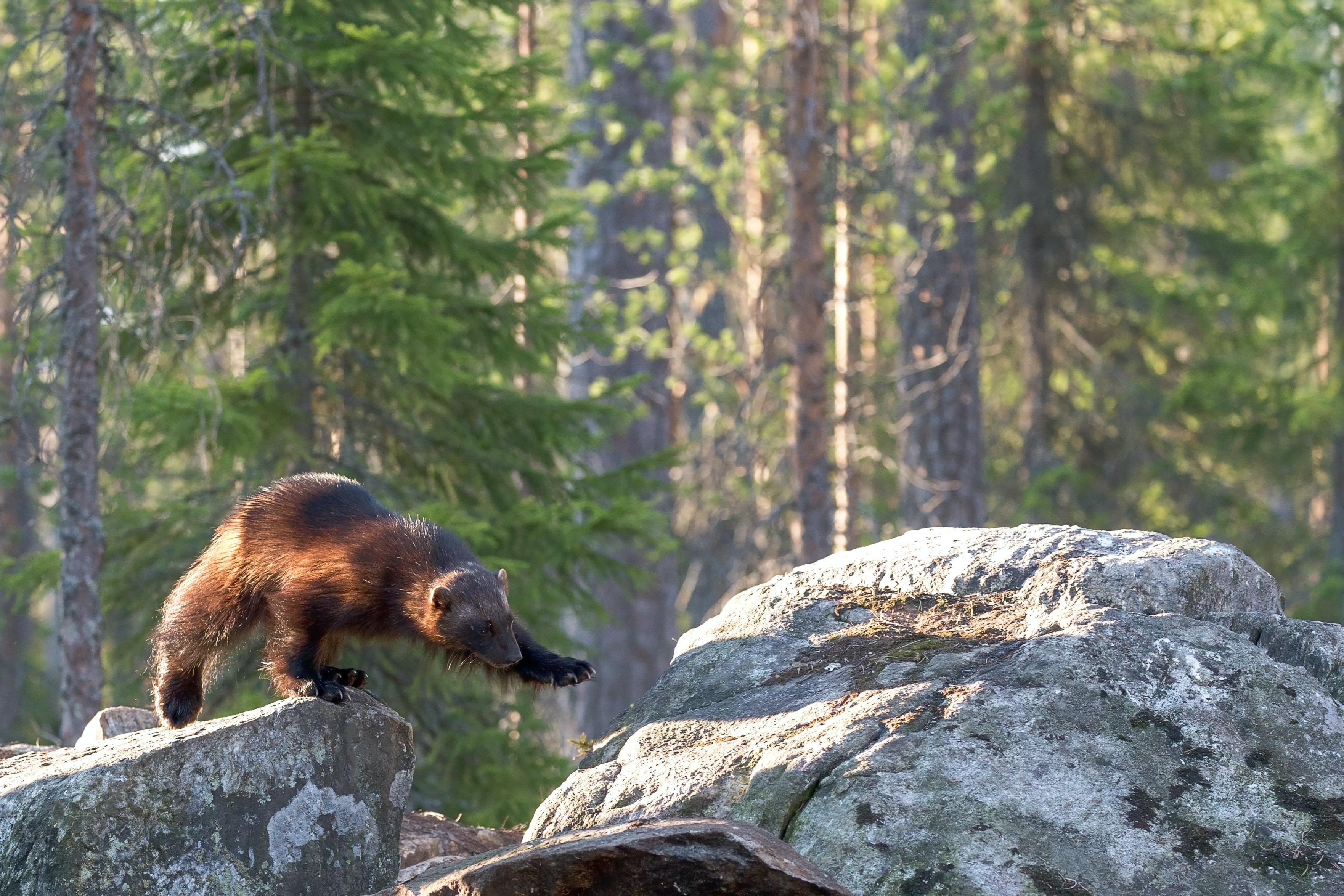 brown bear on gray stone rock