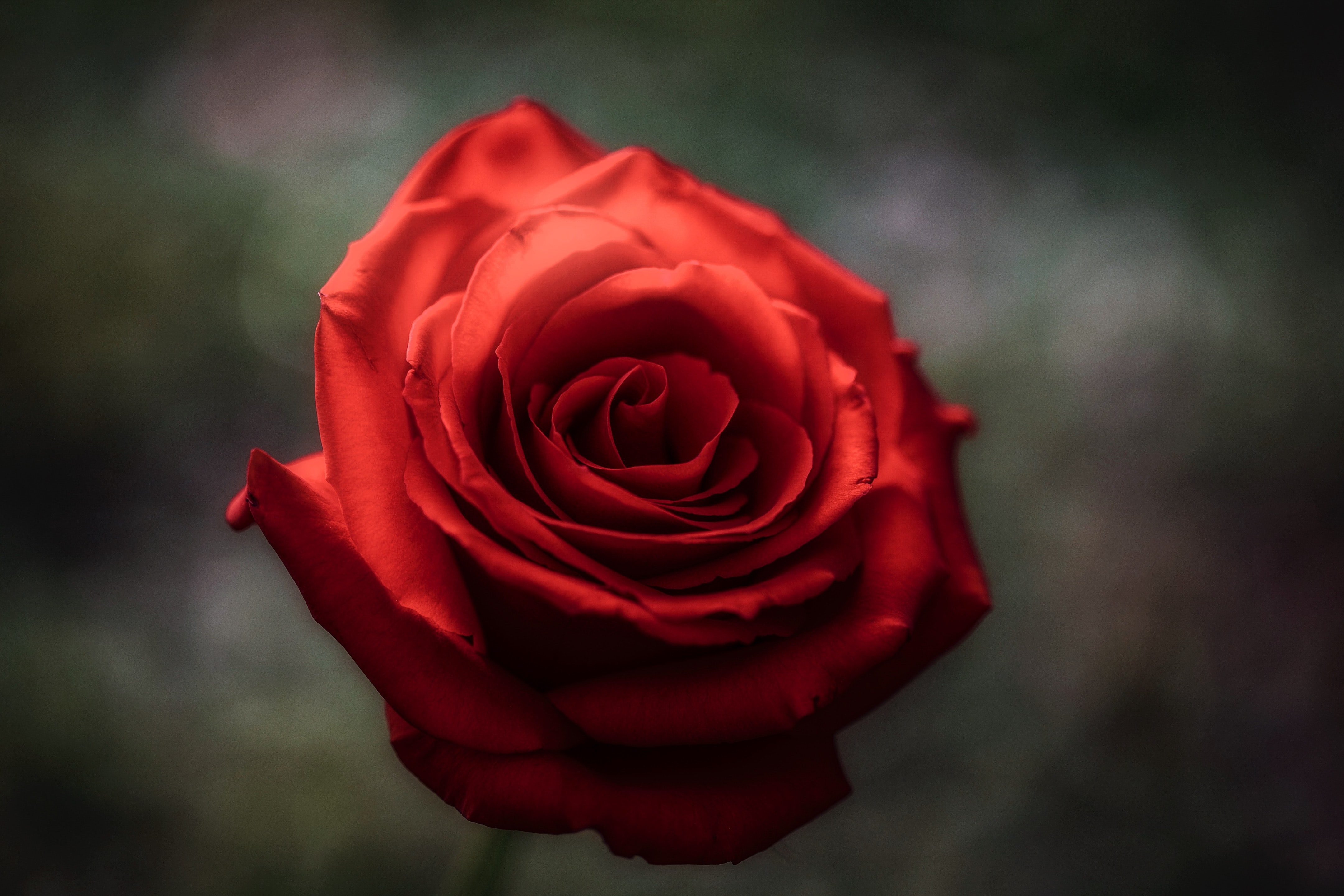 selective focus of red rose
