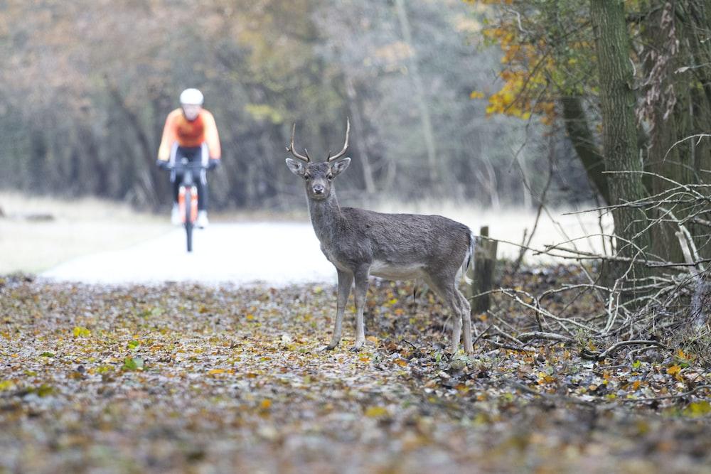 man riding bike near gray deer at daytime