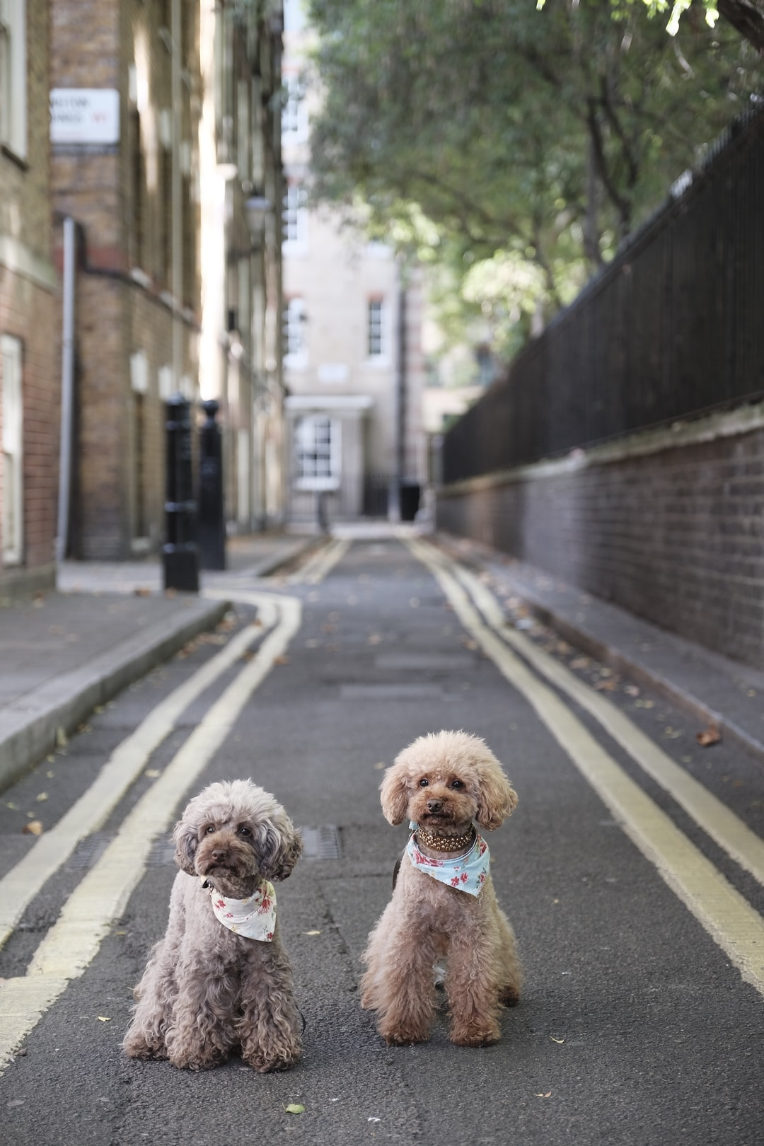 Poodles in Marylebone photo by The Poodle Gang ...