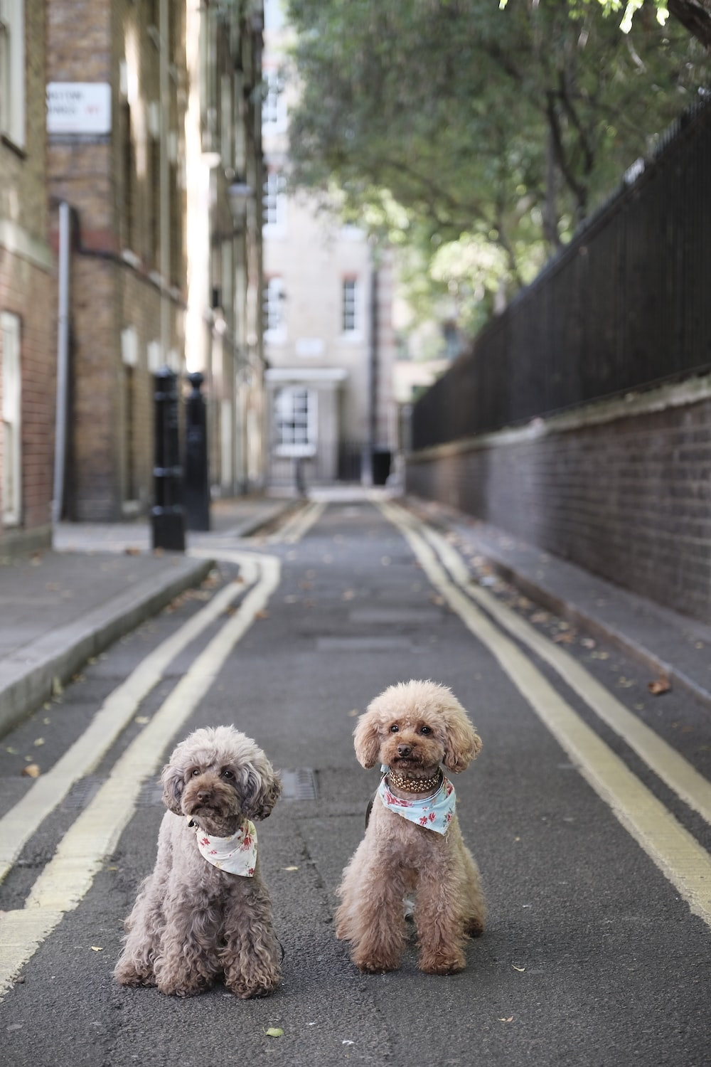 two brown dogs sitting on road