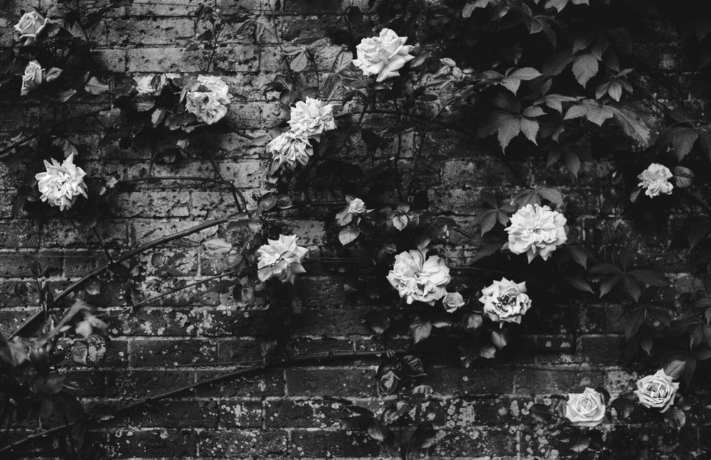 grayscale photography of rose flowers on wall