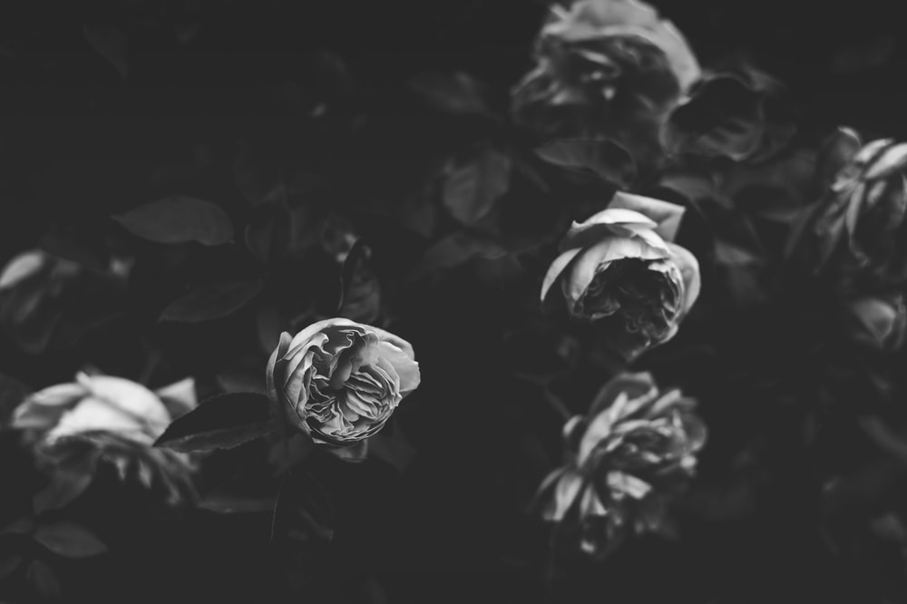 grayscale photo of roses