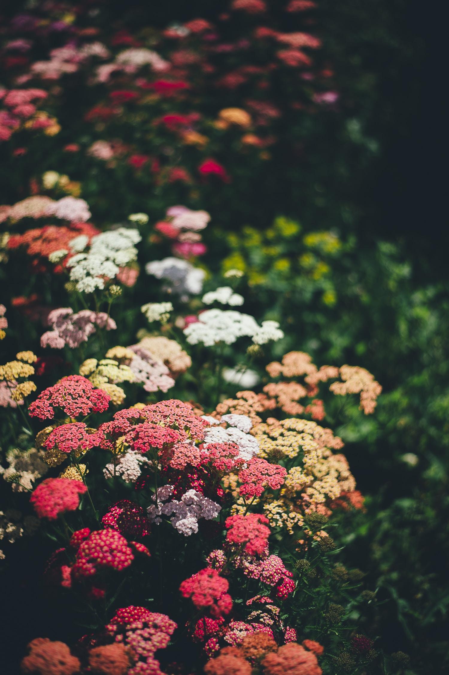 selective focus photography plantana flowers