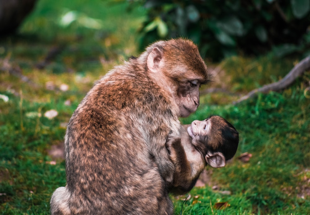 brown monkey and cub