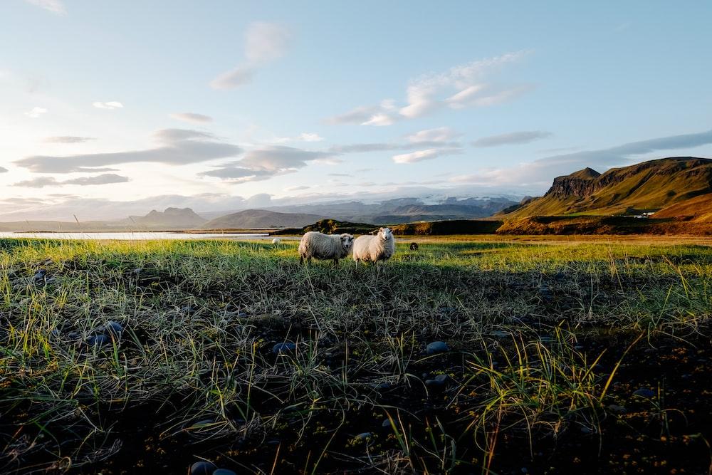 two lamb on grass field near mountain range