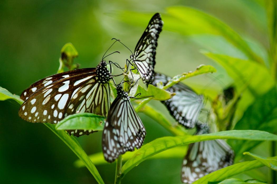 butterflies at Kumarakom