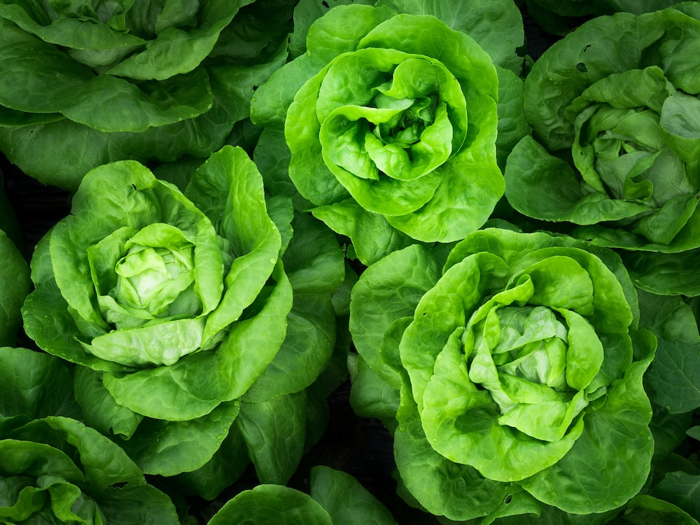 green cabbage lot