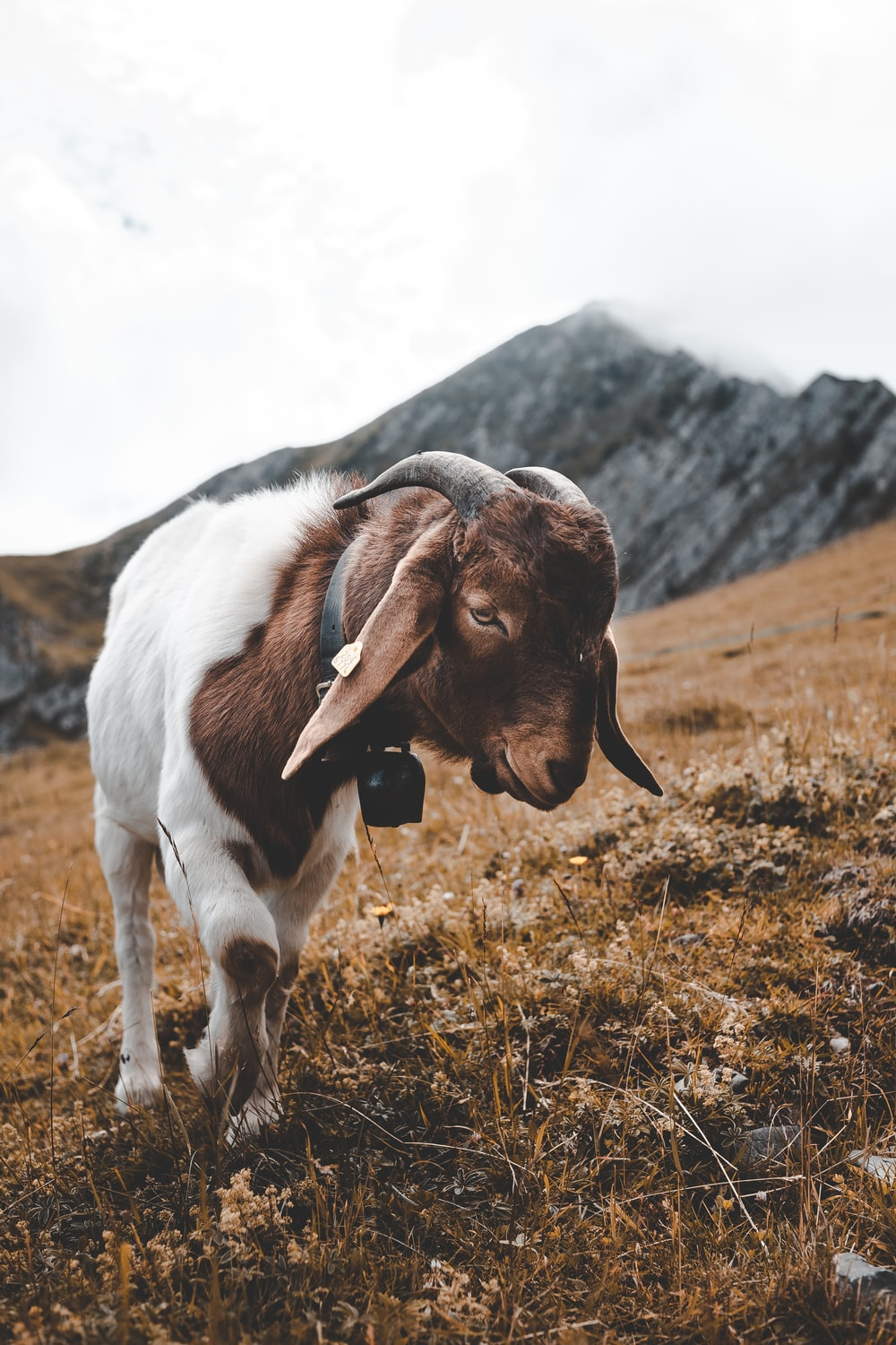 shallow focus photography of goat in hill