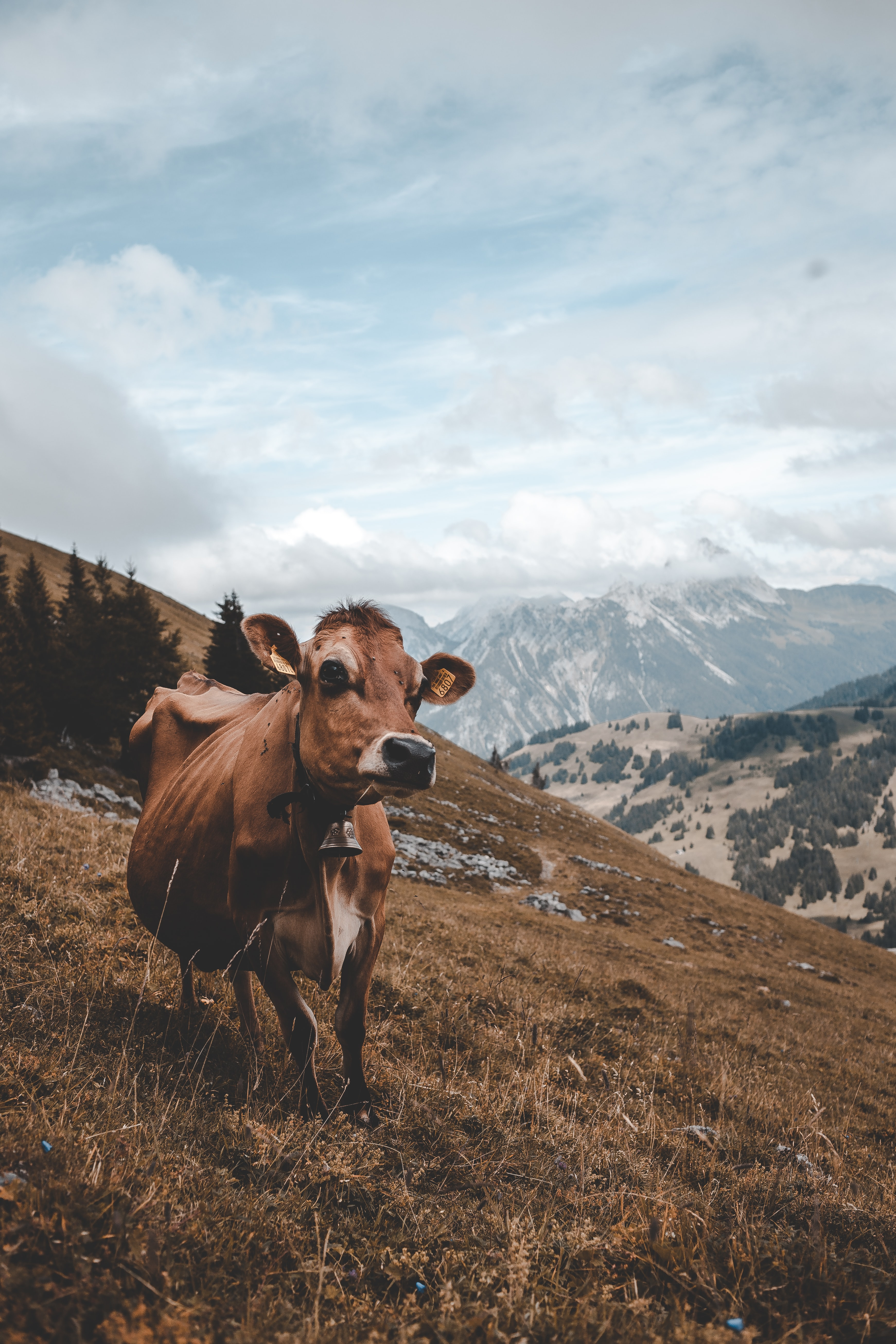 brown cow standing on top of a hill