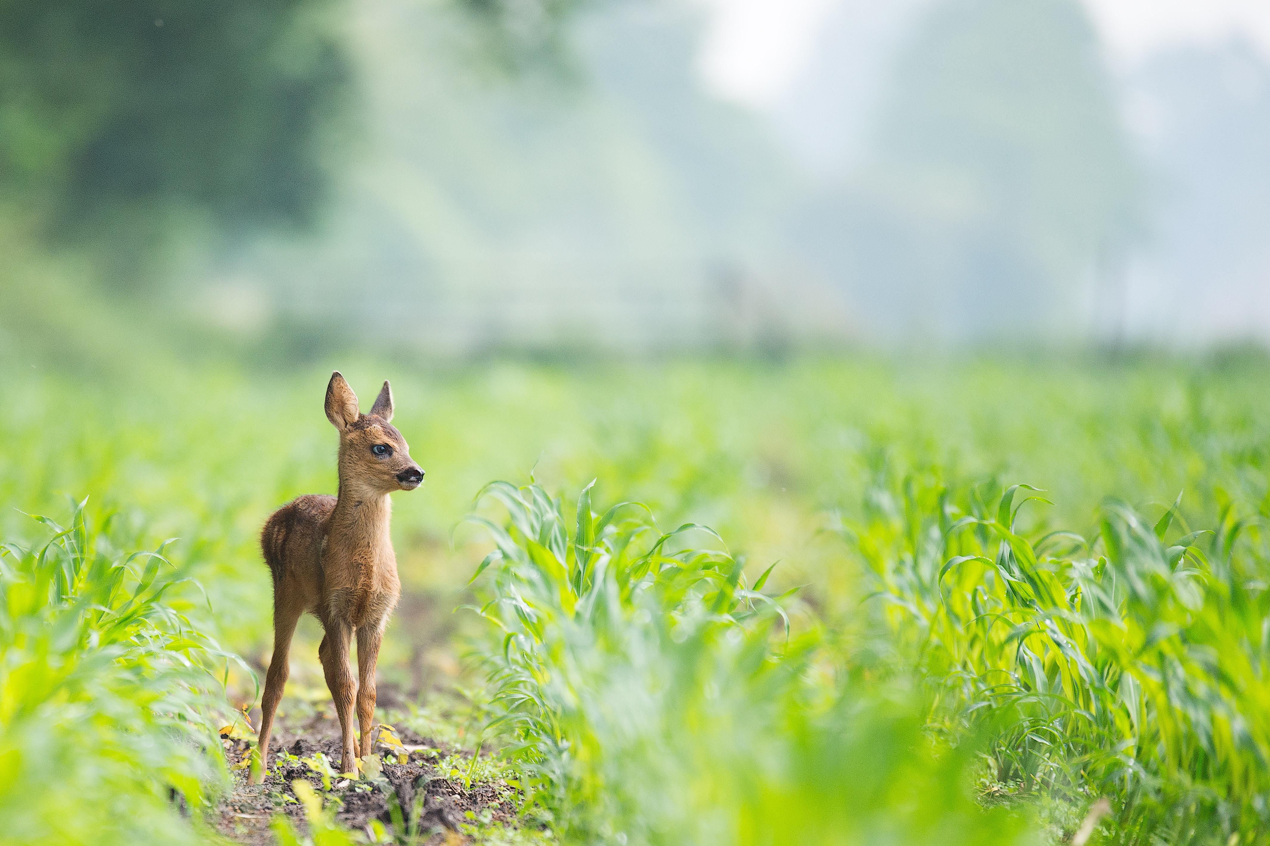 beige baby deer on brown soil between green grasses at daytime