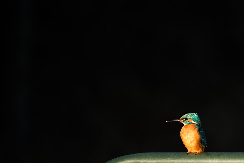 orange and green king fisher