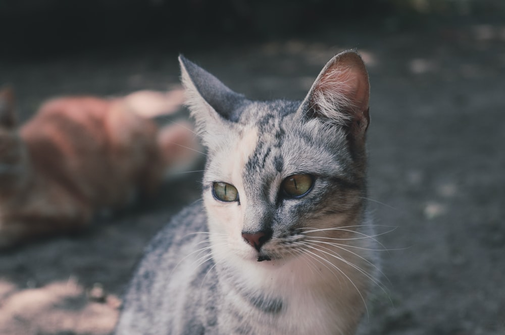 white and silver tabby cat