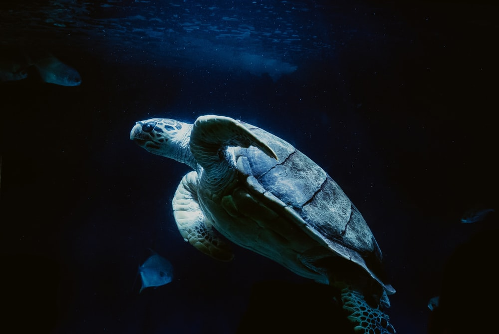 sea turtle swimming with fishes