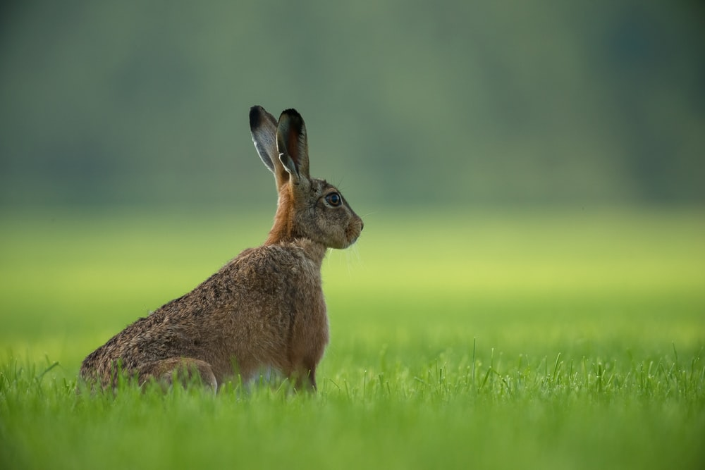 brown rabbit standing on green grass field