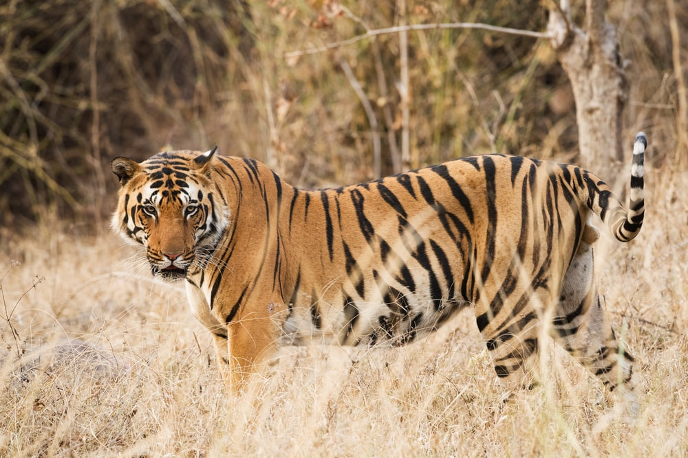 tiger on grass field during daytime
