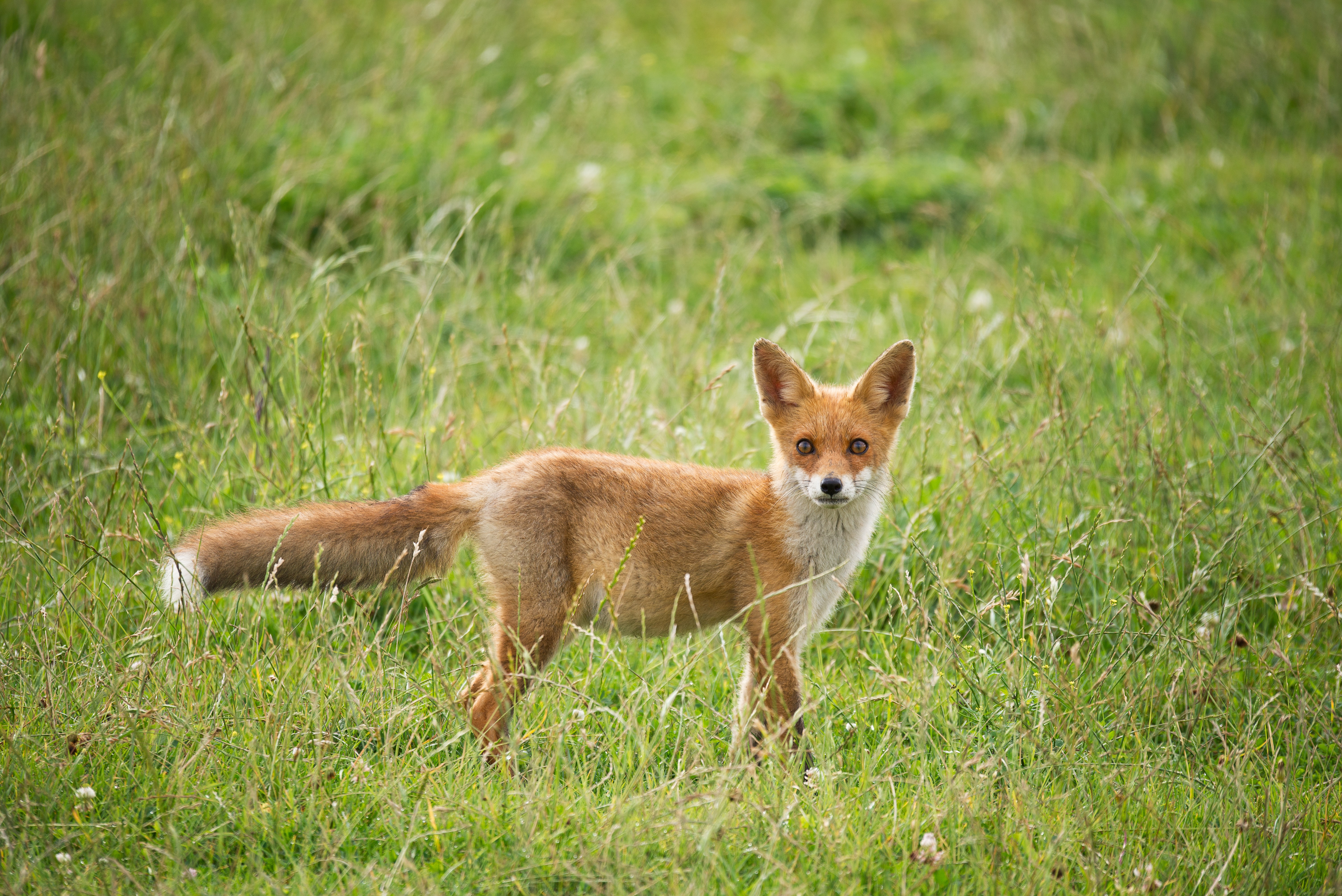 wildlife photography of fox surrounded by grass