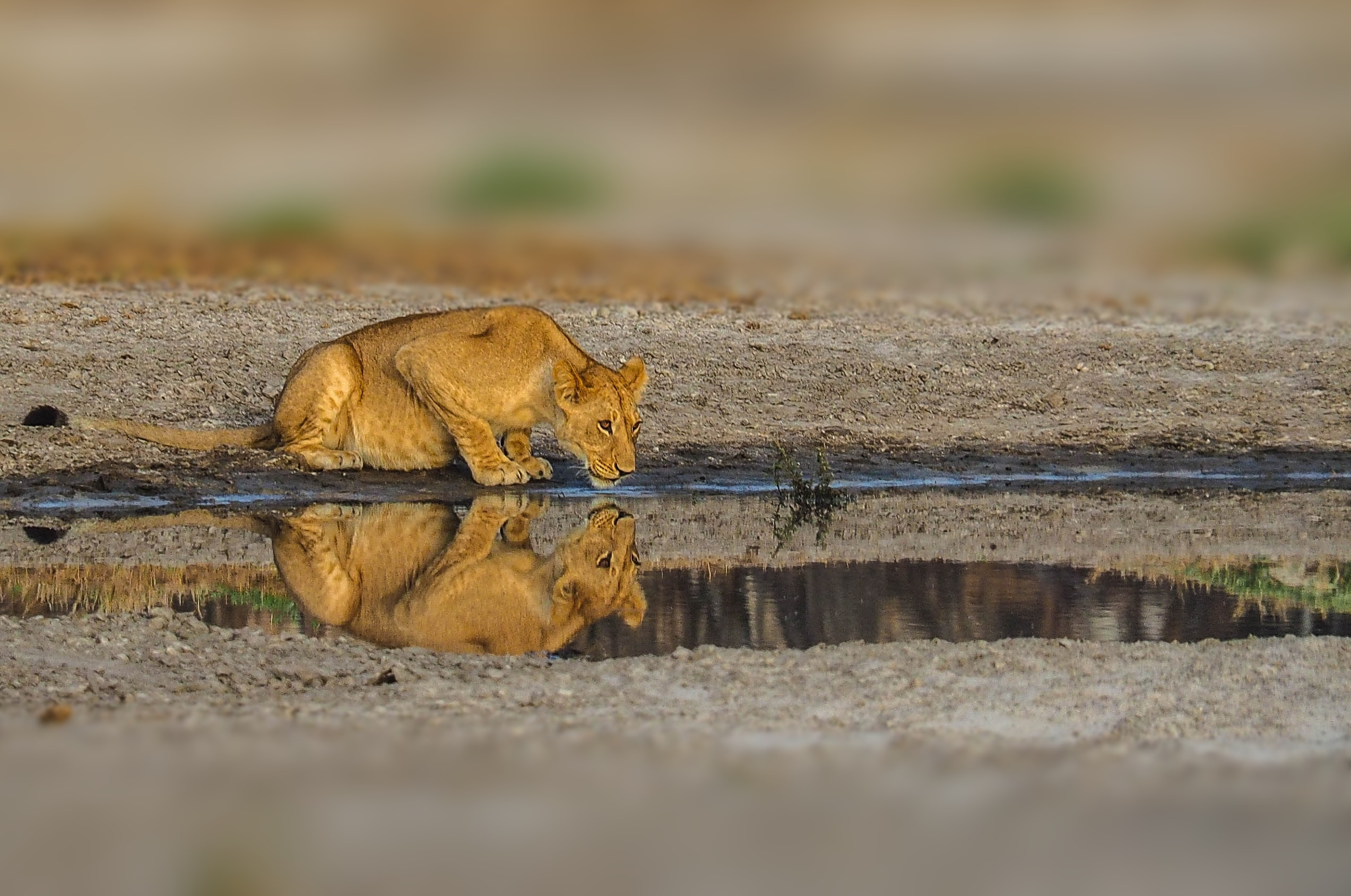 wildlife photography of lioness drinking water