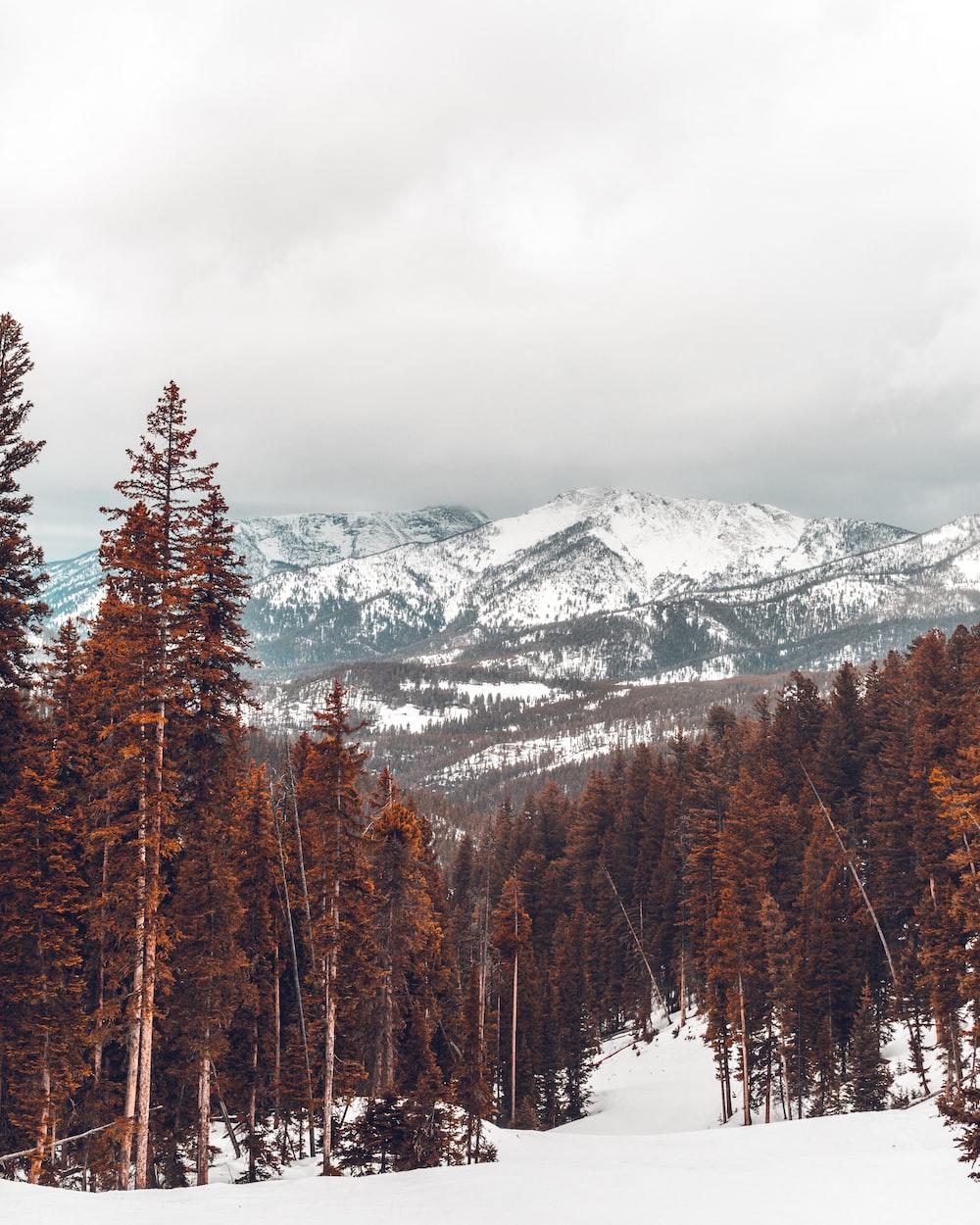 landscape photo of pine tree