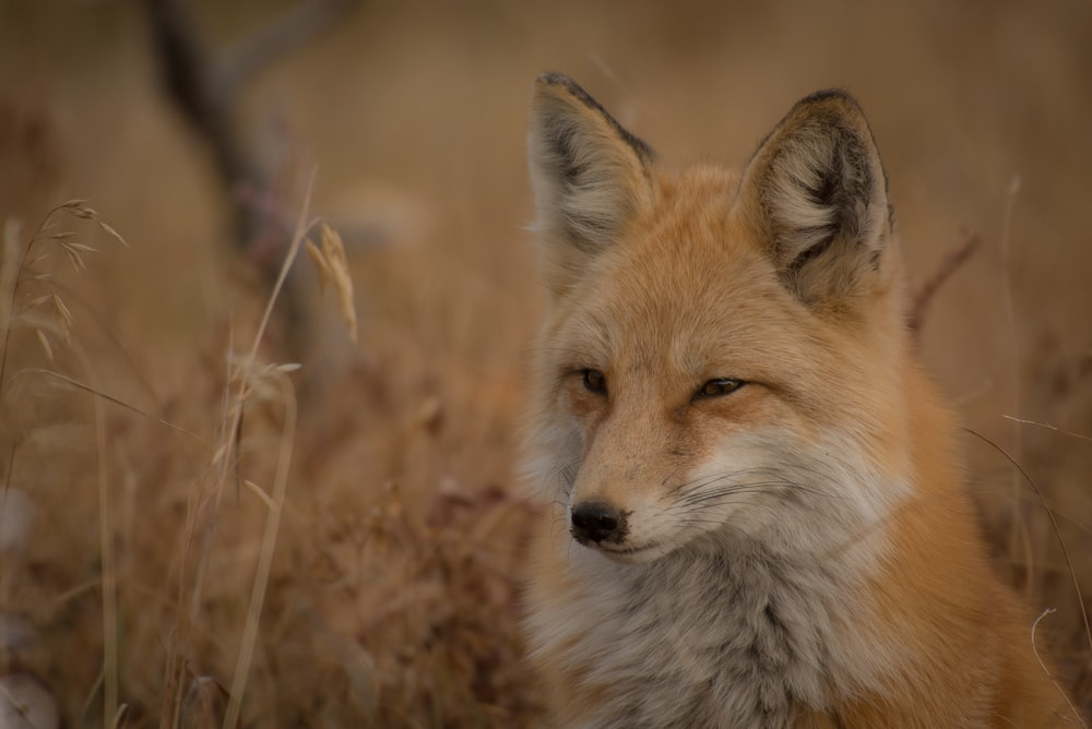 orange fox on grass field