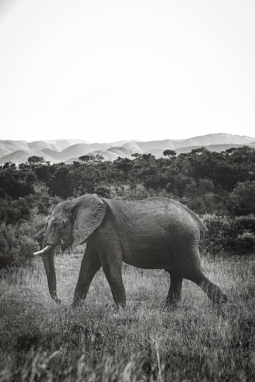 grayscale photo of gray elephant near trees