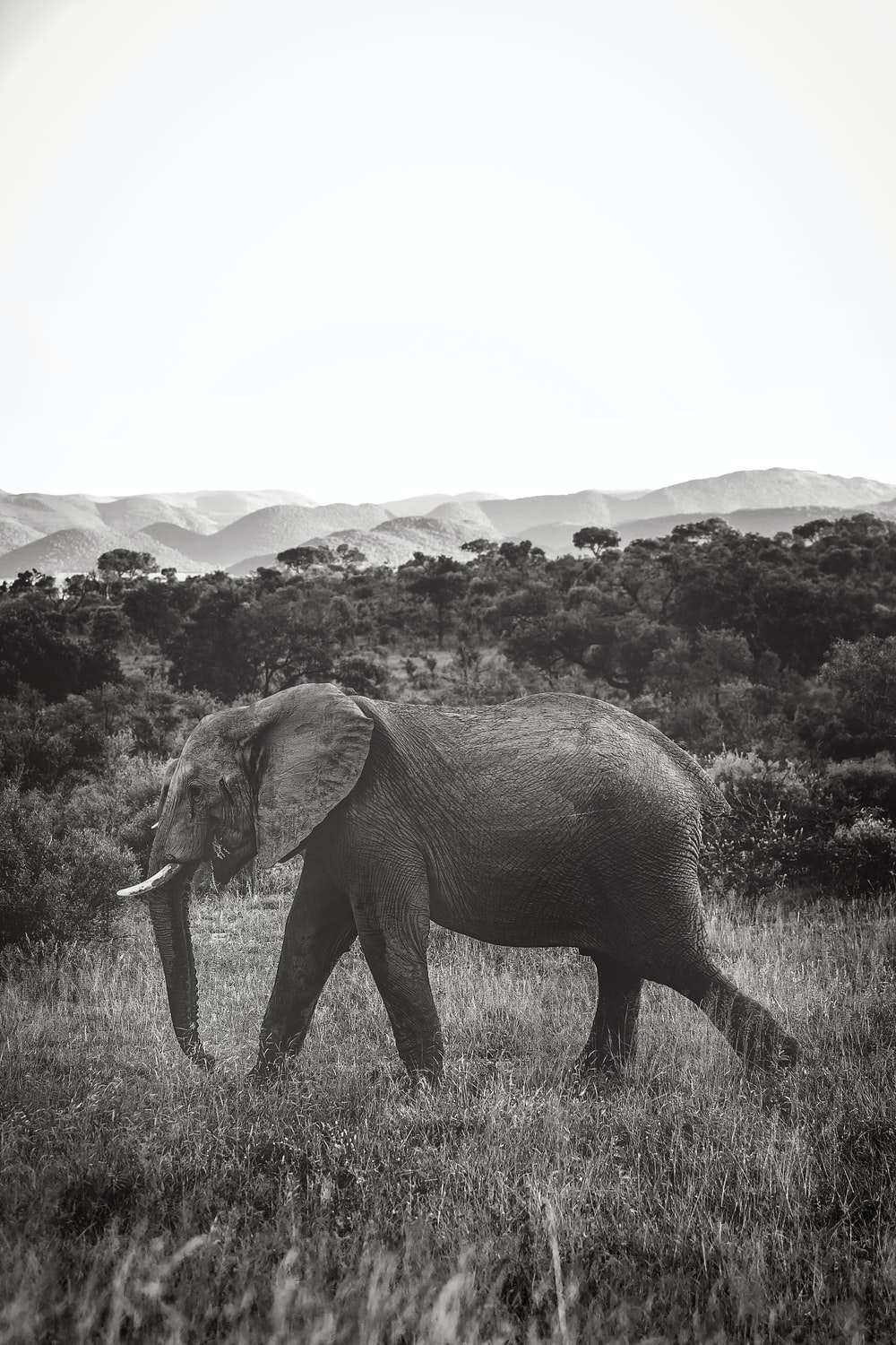 grayscale photo of gray elephant near trees
