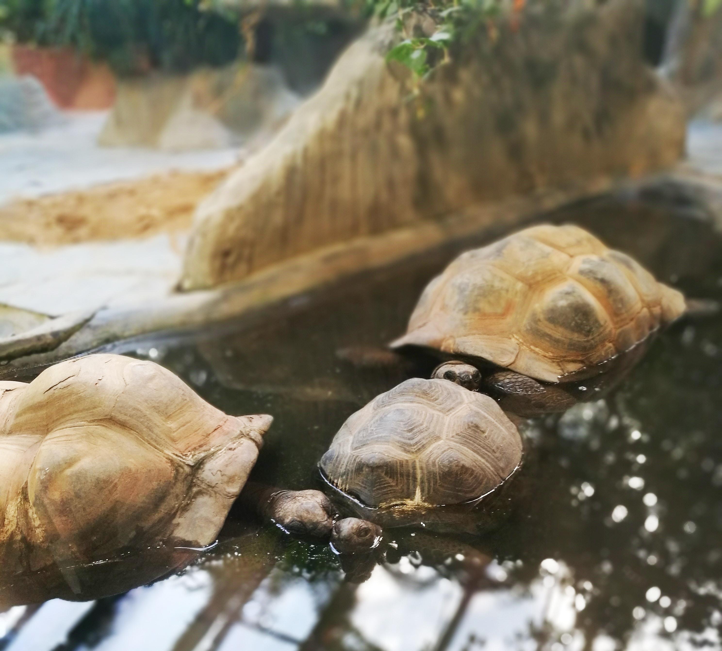 three brown turtles