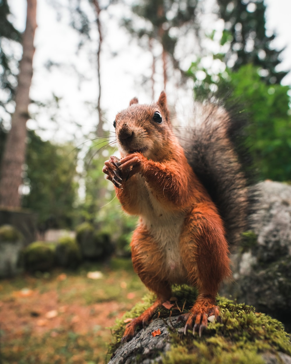 wildlife photography of brown squirrel