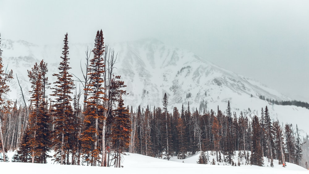 landscape photography of brown trees in front of snowy mountain