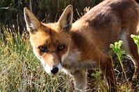 Fox nature