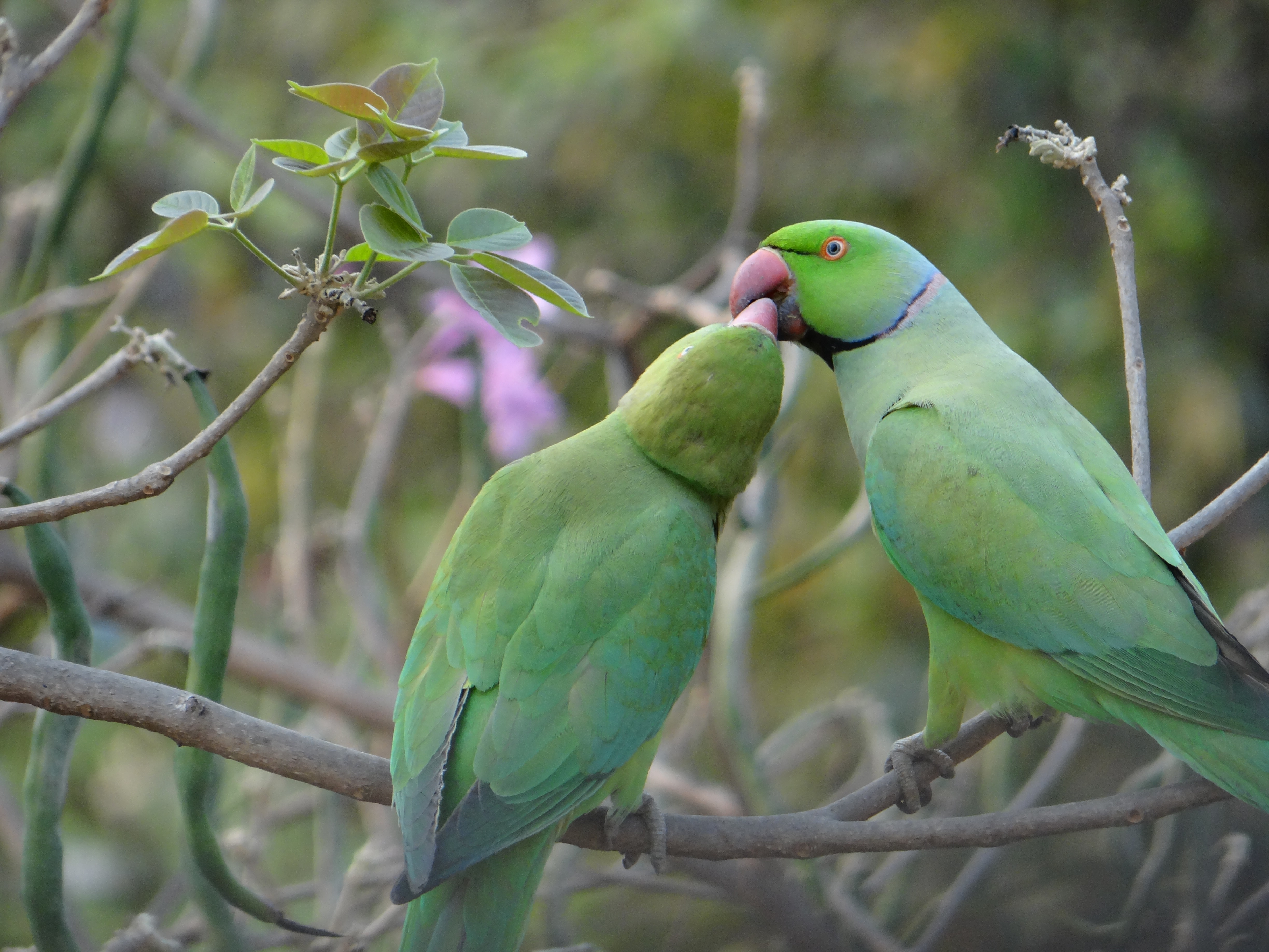 shallow focus photography of rose-ringed parakeets