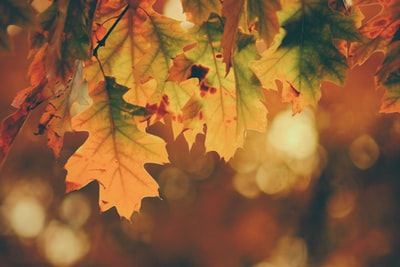 tilt shift photography of maple leaves fall zoom background