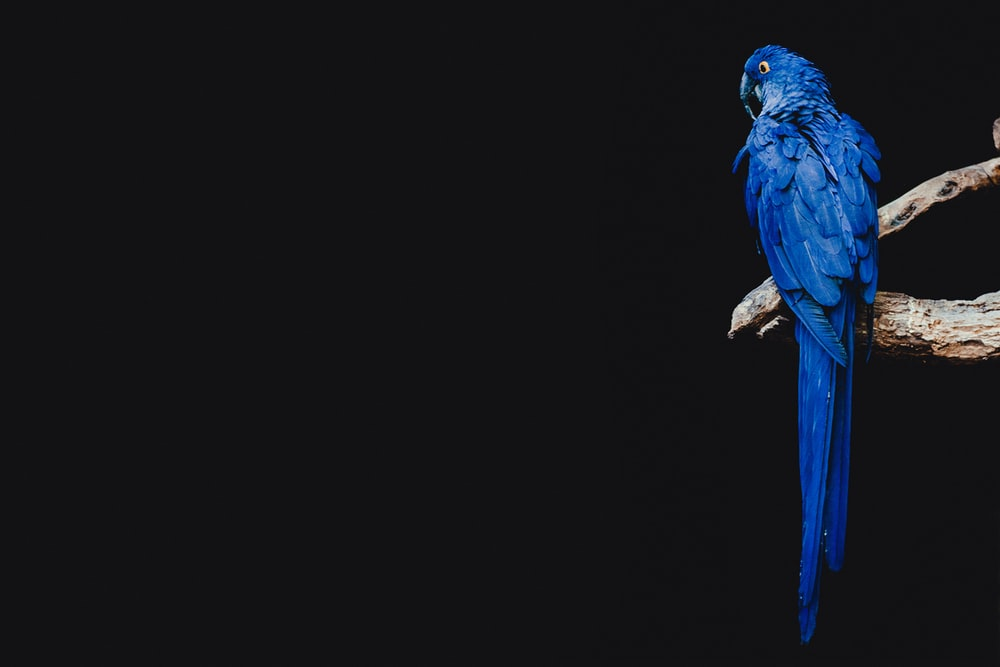 blue parrot standing on brown tree branch