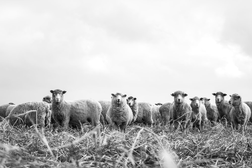 grayscale photography lamb