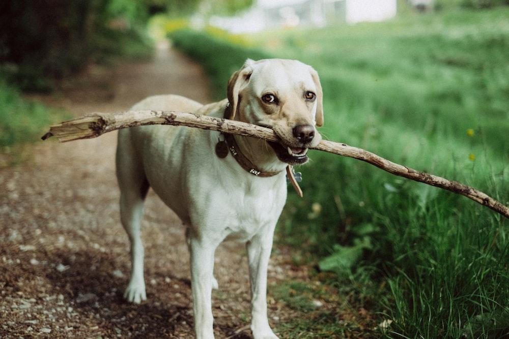 short-coated dog biting stick