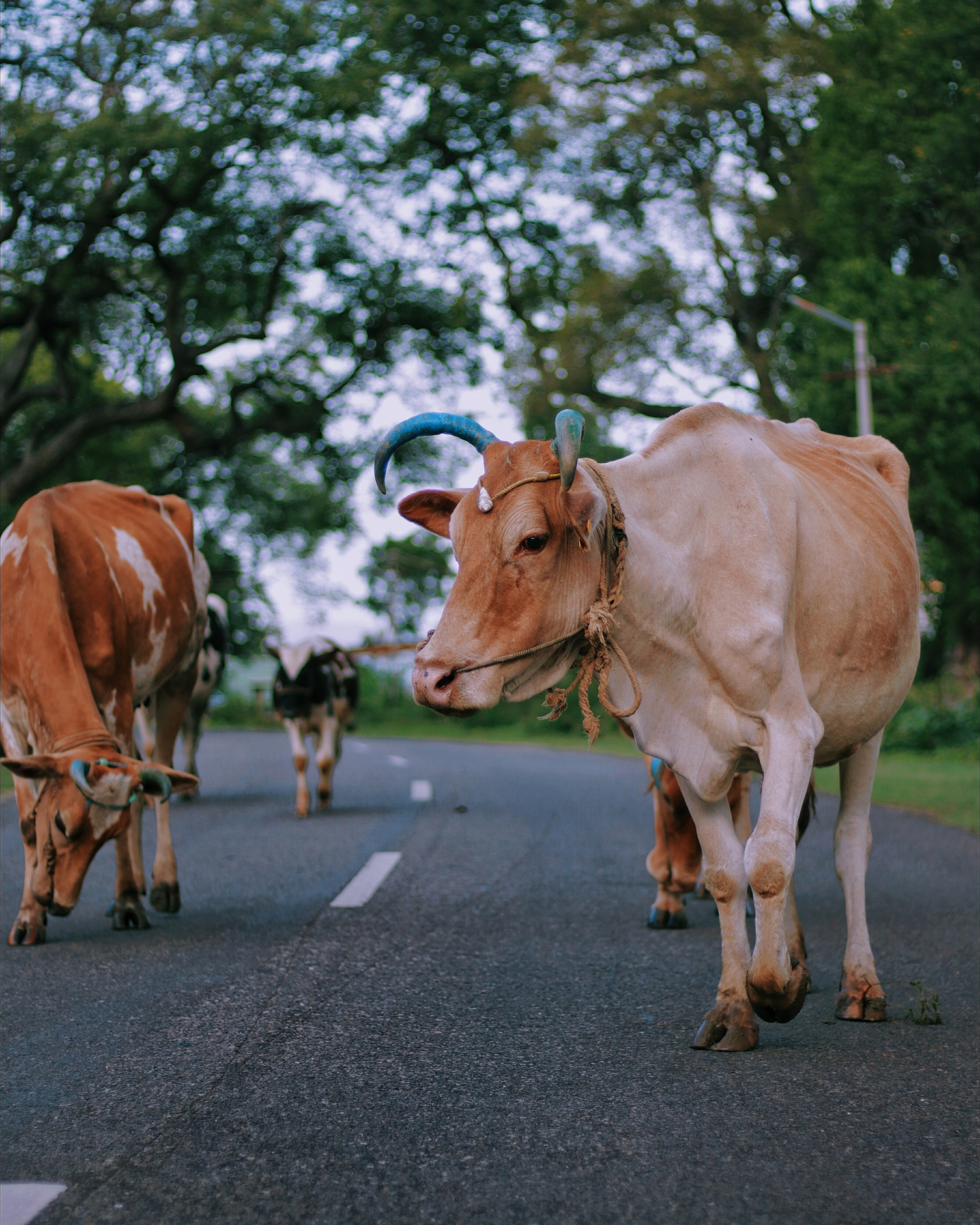 two brown cows walking near green leafed trees