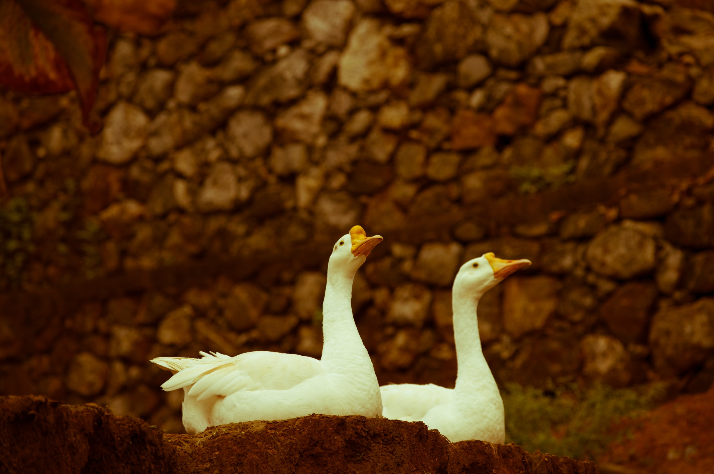 shallow focus photography of two geese sitting next to each other