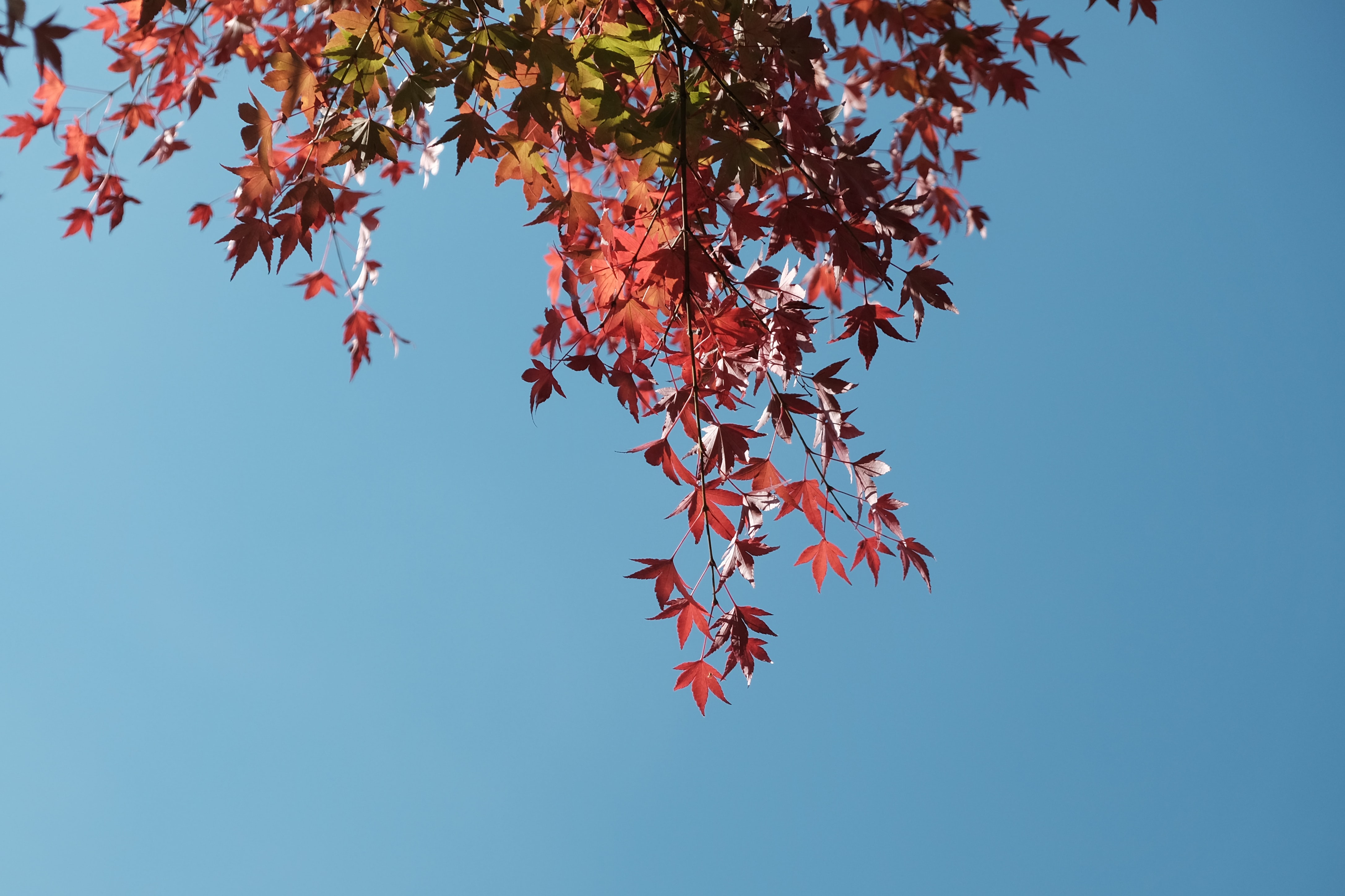 low angle photo of maple leaf tree under blue sky