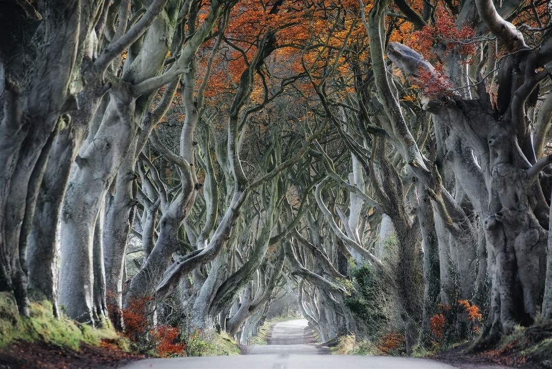 The dark hedges, not made famous by The Game of Thrones, in Autumn