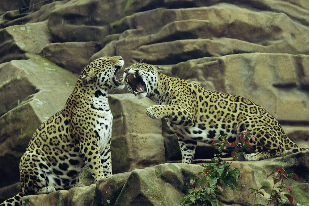 two leopard on brown rock