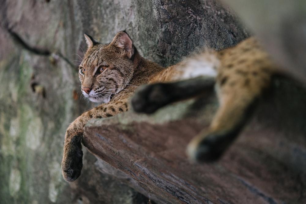 cheetah laying on stone